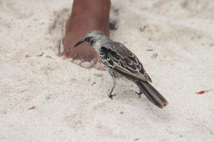 española_mockingbird