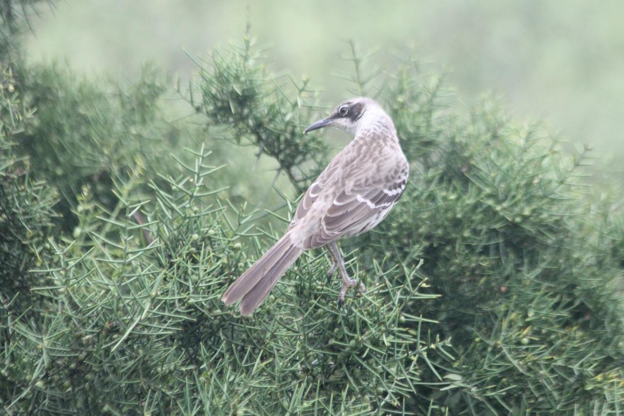 galapagos_mockingbird
