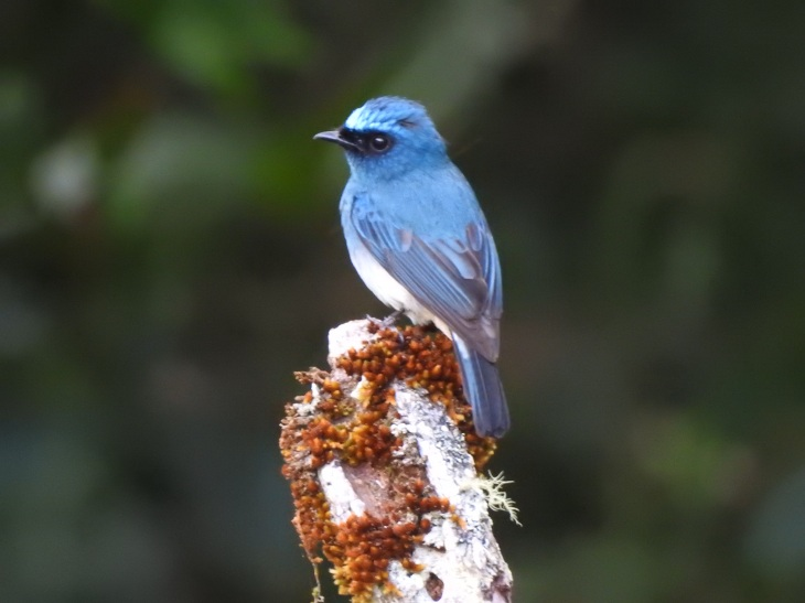 indigoflycatcher