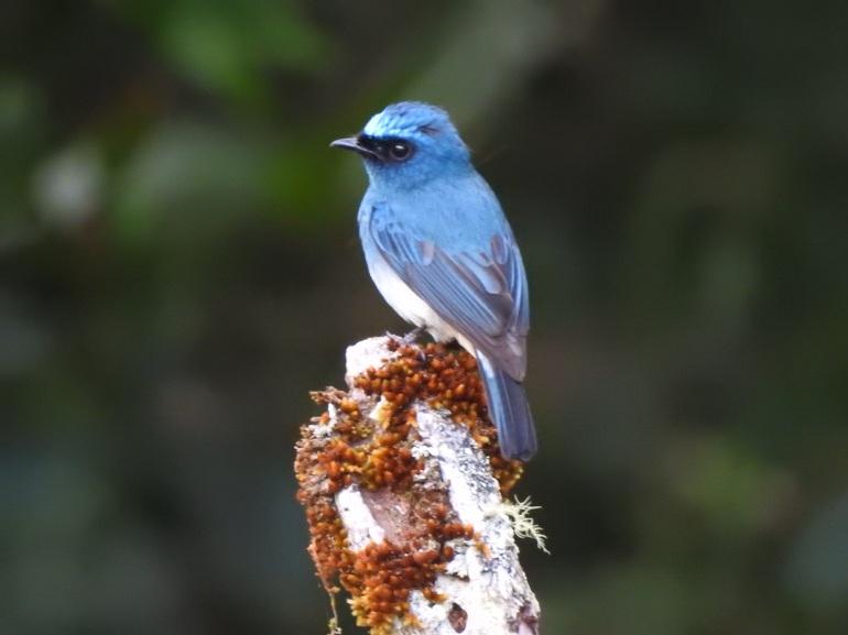 indigoflycatcher