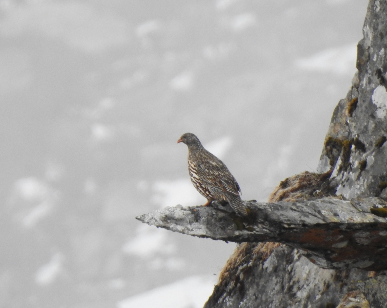 snowpartridge