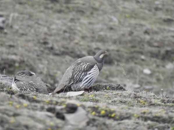 tibetansnowcock