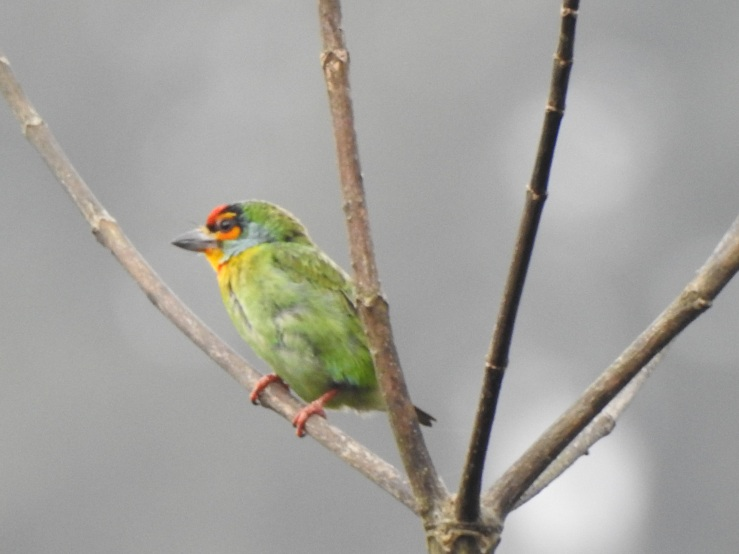 crimsonfrontbarbet