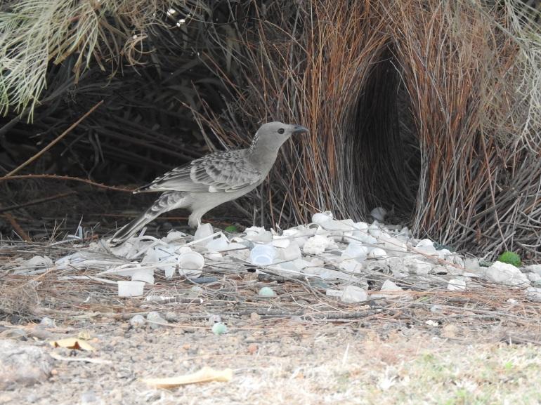 greatbowerbird2