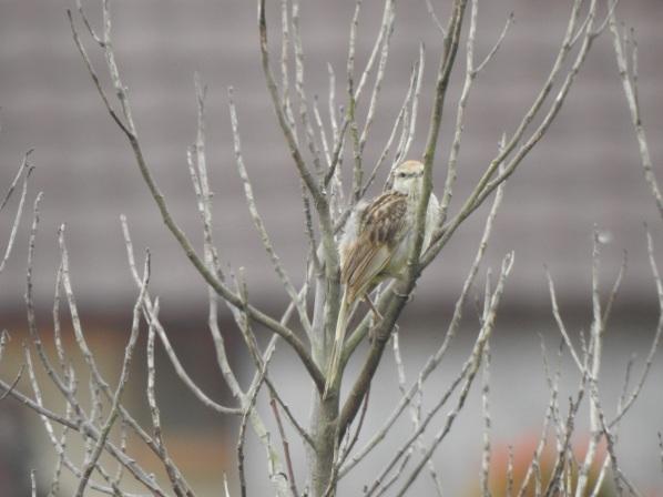striatedgrassbird