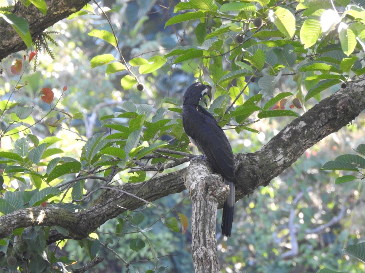 bushycrestedhornbill
