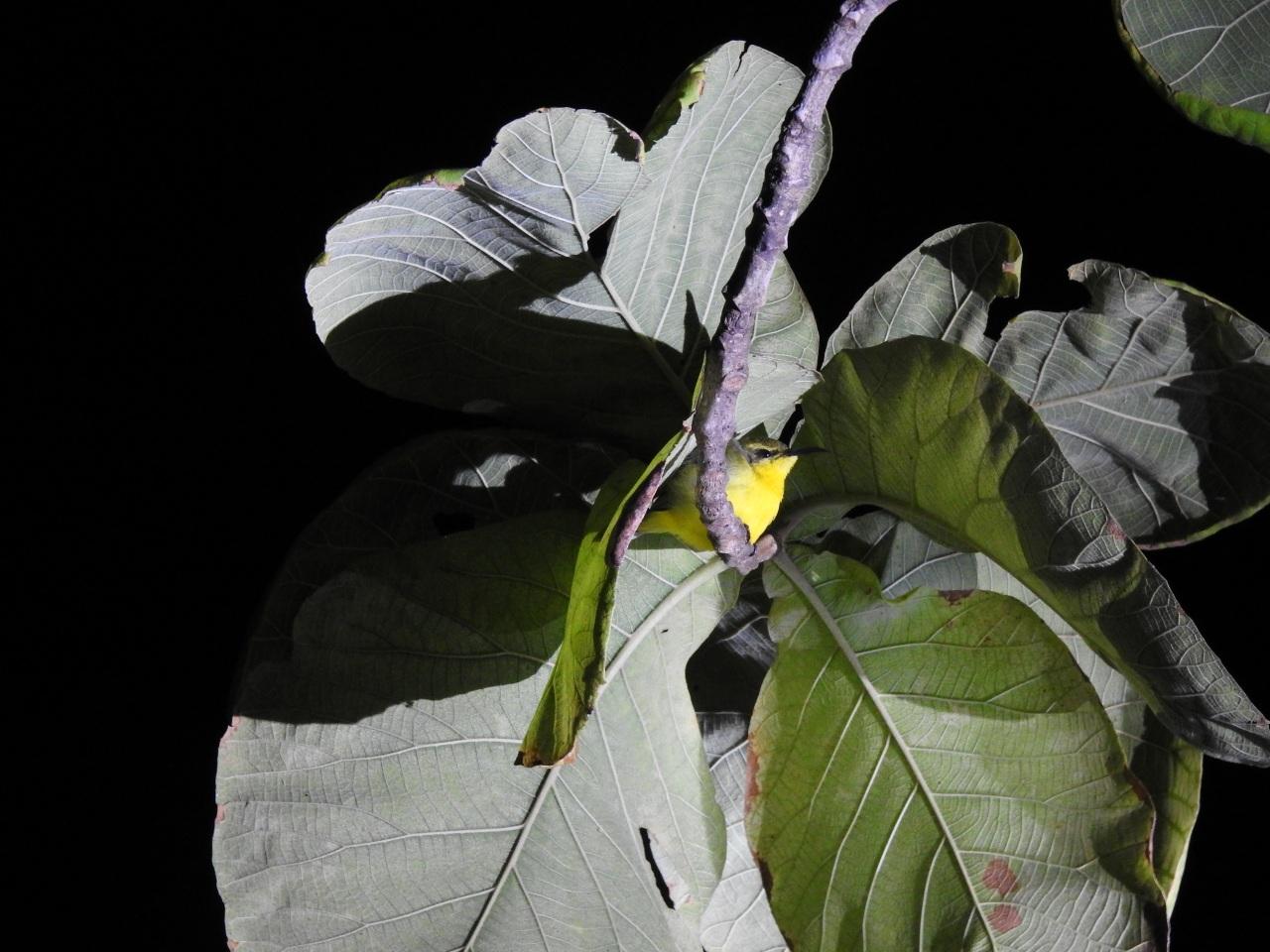 olivebacksunbirdnight
