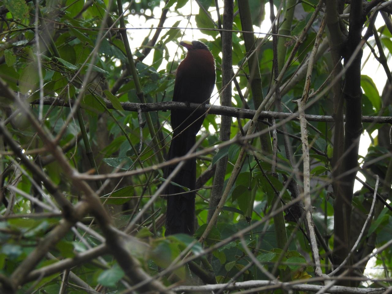 Sulawesimalkoha