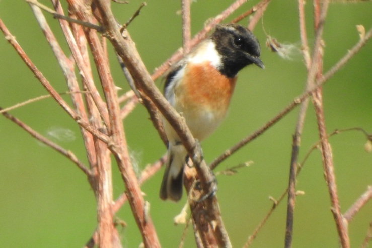 whitetailedstonechat