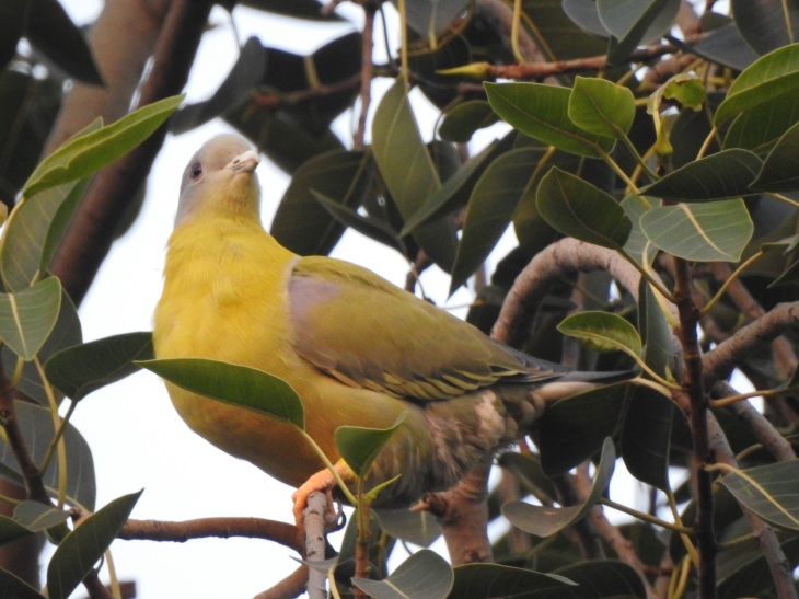 yellowfootedpigeon