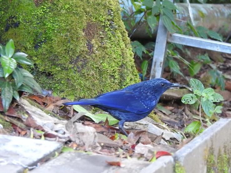 bluewthrush