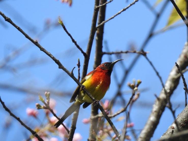 gouldssunbird