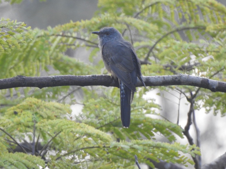 greybreastedcuckoo