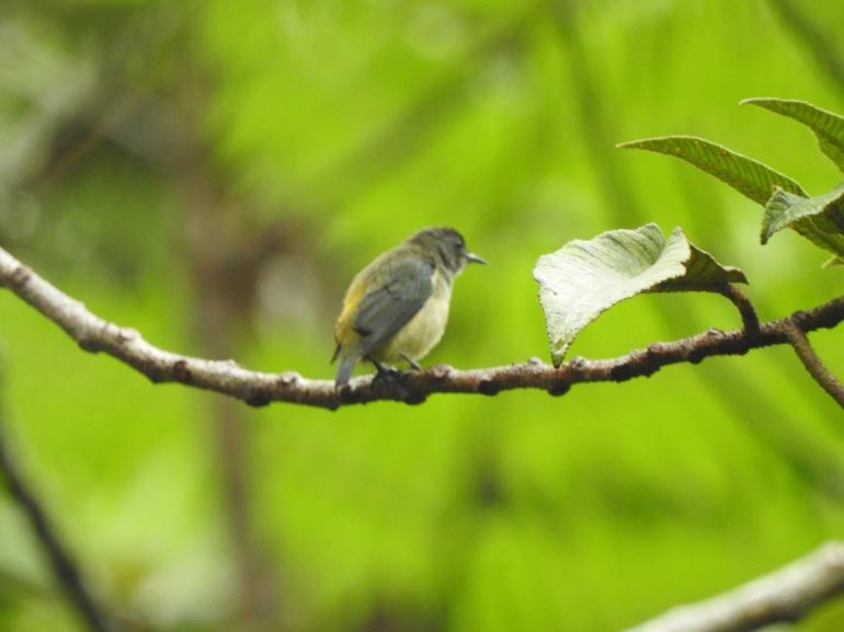 pygmyflowpeck