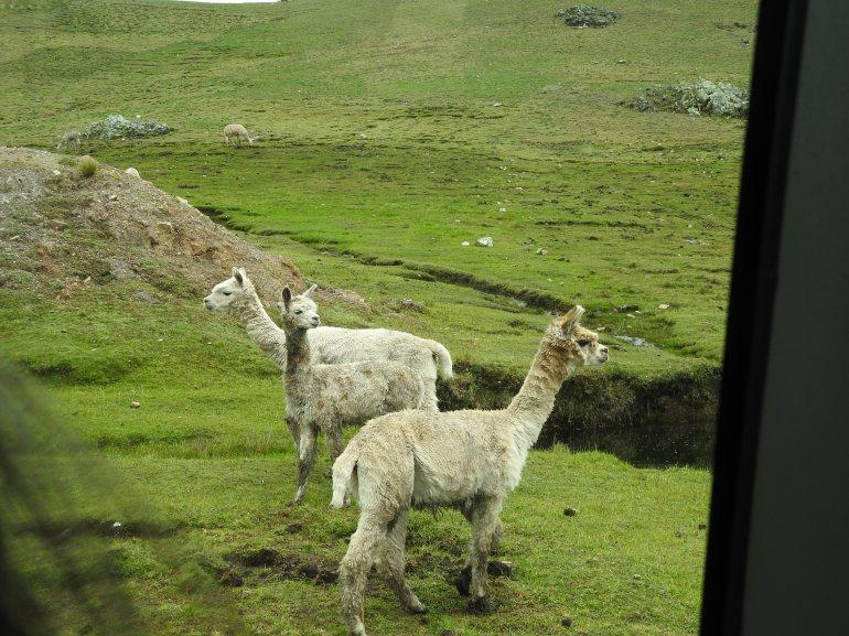 alpacas - Copy