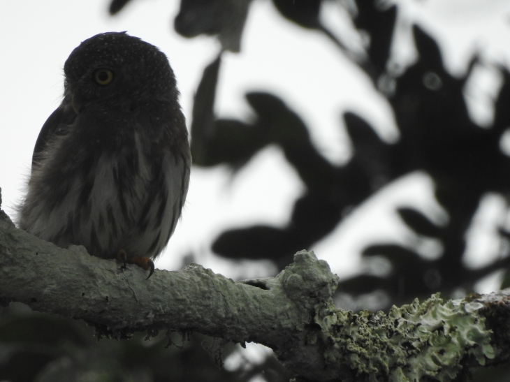 amazonianpygmyowl - Copy