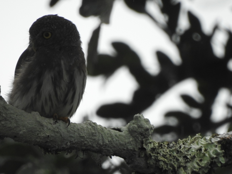 amazonianpygmyowl - Copy
