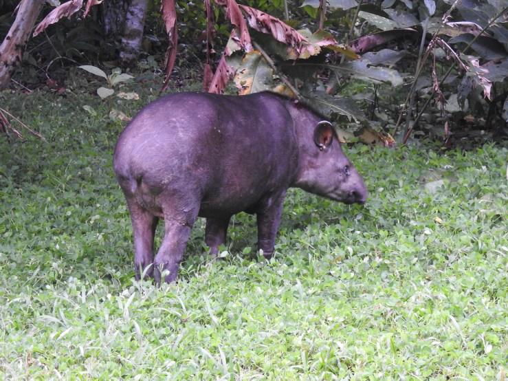 tapir1 - Copy