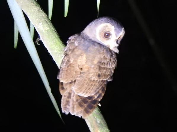 mottledowl