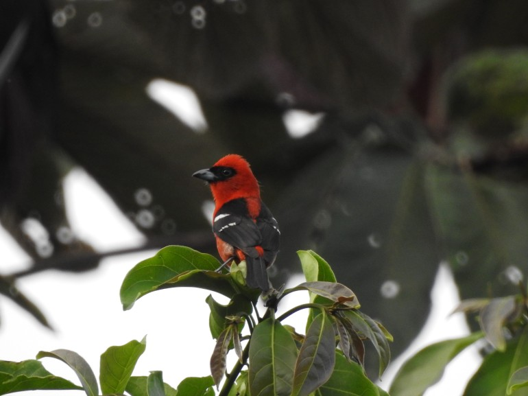 whitewingedtanager