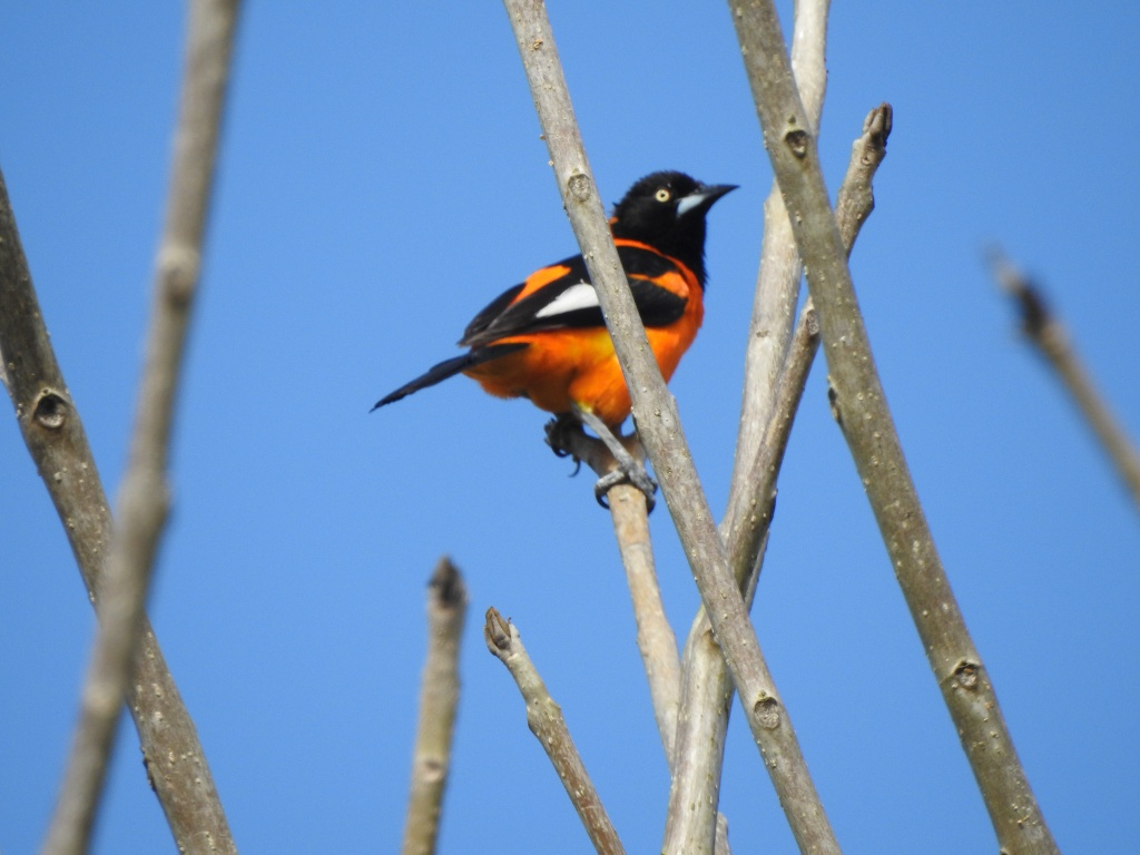 Perched oriole, bright orange, black head, tail and wings with a white patch, yellow eye.