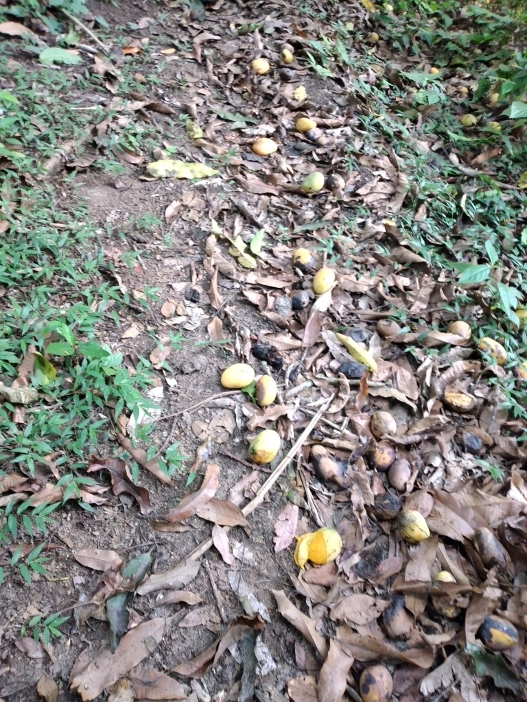 A forest path covered with ripe yellowish mangoes