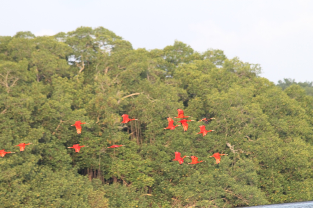 Flock of a dozen or so brilliant red ibis flying past mangrove trees.