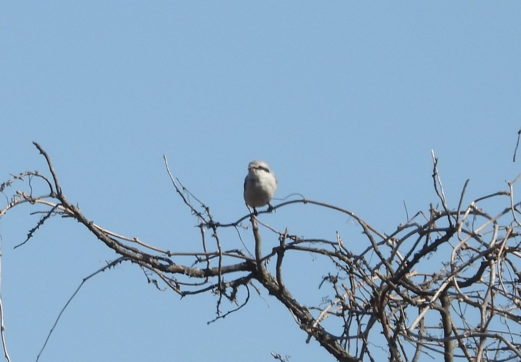 Medium sized gray bird with black mask perched on leafless branches, against a blue sky.